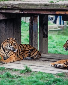 35mm colour slide pictures from London Zoo in the early 1980s - Tigers relaxing