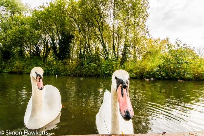 Tamron 10-24 wide angle sample pictures - Curious swan in Fairlands Valley Park Stevenage