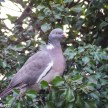 Optomax 300mm f/5.6 sample pictures - Pigeon in a tree