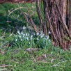 Optomax 300mm f/5.6 sample pictures - Snowdrops