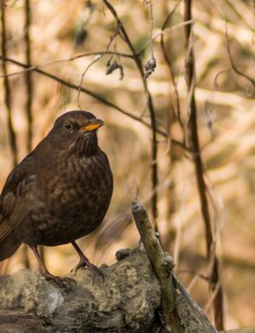 Pentax-M SMC 80-200mm f/4.5 zoom lens sample picture - Cropped blackbird