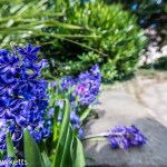 Favourite pictures – The hyacinth