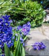 Favourite pictures - The hyacinth 2
