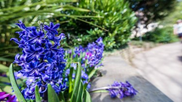 Favourite pictures - The hyacinth 1