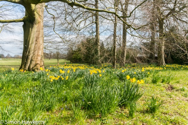 Beningborough Hall pictures - Spring daffodils