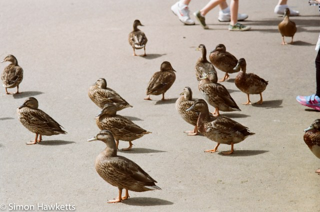 Miranda G slr with Kodak Gold 400 sample picture - Ducks near the lake at CenterParcs