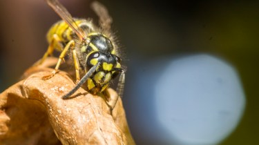 Tamron 90mm f/2.8 macro pictures - Wasp