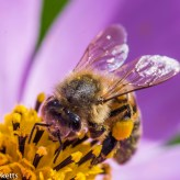Macro photos - Bee on a flower
