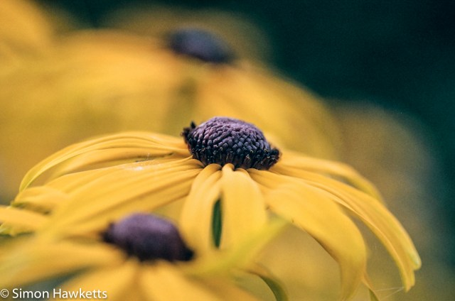 Pentax SFXn sample pictures - Yellow flower with Tamron 90mm macro lens