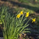 Auto Takumar 55mm sample pictures - Spring Daffodils