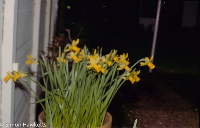 Pentax Super Program sample pictures - Daffodils at night with flash illumination