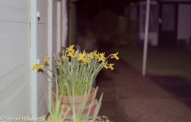 Pentax Super Program sample pictures - Daffodils at night with flash