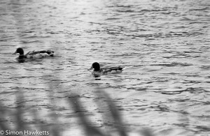 Tokina RMC 75 - 260 f/4.5 zoom 35mm sample pictures - swimming duck