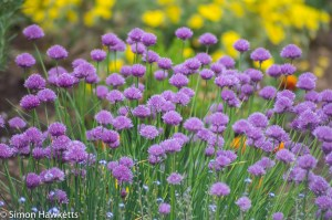 Tokina RMC 75 - 260 f/4.5 zoom sample pictures - chives in the garden
