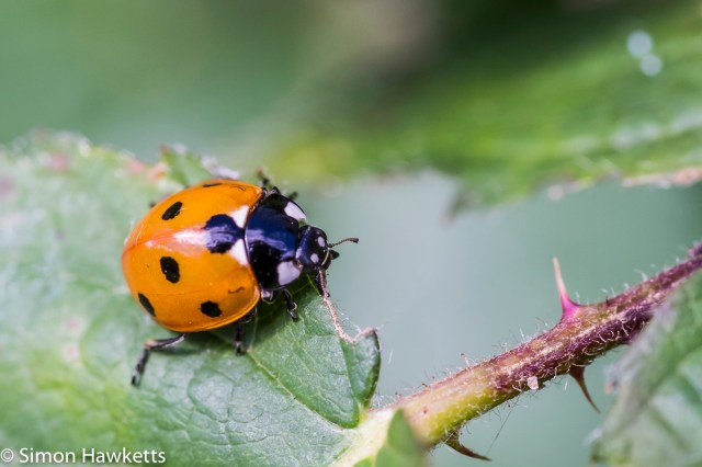 Fuji X-T1 macro sample pictures - Orange Ladybird