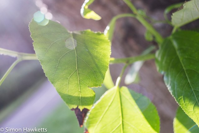 Sigma Mini-Wide on Fuji X-T1 sample pictures - close up of leaf
