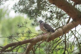 Auto Chinon 200mm Telephoto f/3.5 on fuji x-t1 - Pigeon sitting in a tree