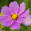 Olympus E500 sample pictures - Cosmos flower