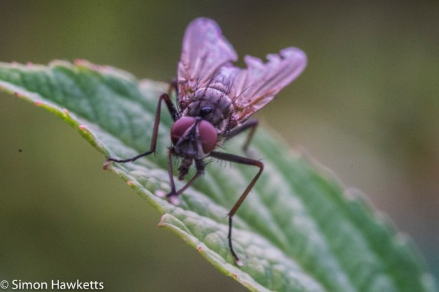 Fuji X-T1 macro experiments - fly on a leaf