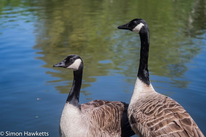 Kodak Retina Ysarex lens on Fuji X-T1 mirrorless - Two geese