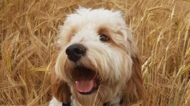 Cockapoo puppy in a wheatfield