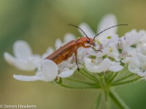 Ricoh GXR Leica A12 sensor with Macro lens - Soldier beetle