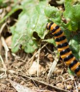 Cinnabar moth caterpillar 1
