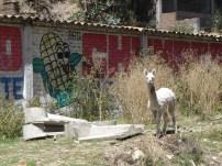 Urban Llama