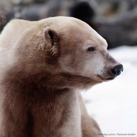 6_polar-and-grizzly-hybrid1