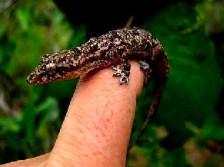 Hemidactylus