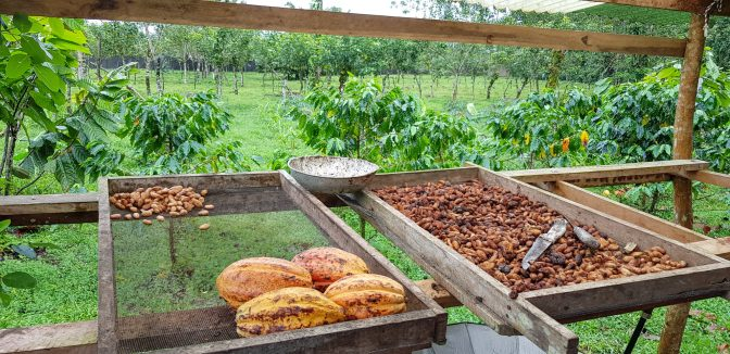 Cacao ready for traditional processing