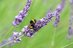 Bumblebee watching