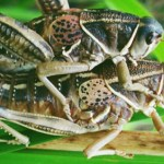Podcast 80- St. Patrick's Day Dueling Grasshoppers!