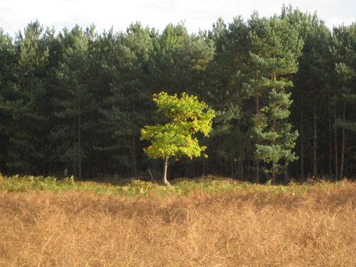 Autumn tree in Rendlesham forest
