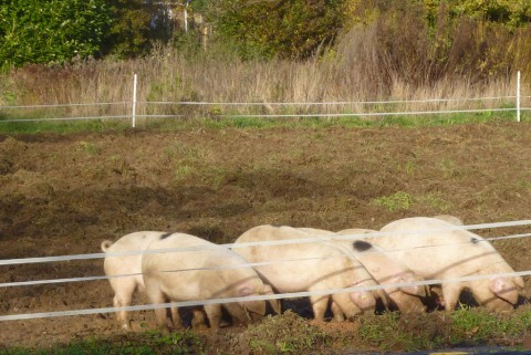 pigs, after feeding. They grunt, not squeal