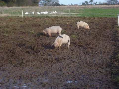 I can honestly say that standing from the camera point I can't smell the shit from these guys - but they are moved regularly and it isn't concentrated like a CAFO - the shit is broken down in the soil as is Nature's way