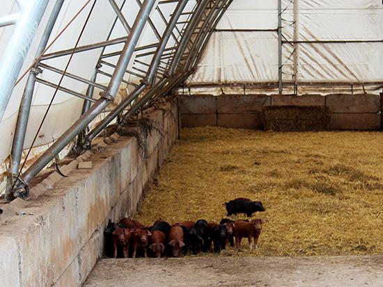 baby pigs Profeta Farms