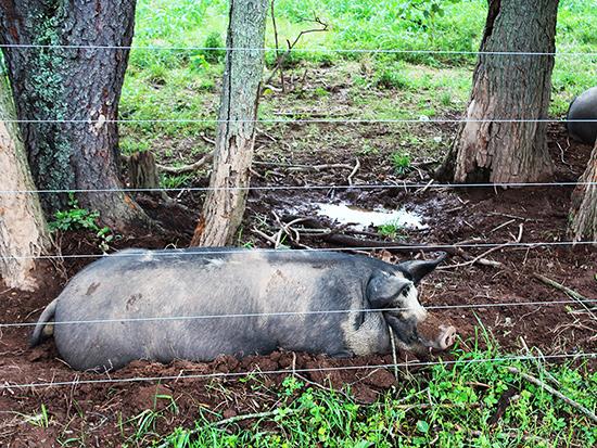 Female pigs Profeta Farms