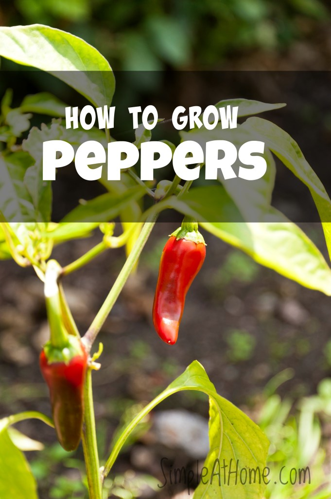 how to grow your own peppers fresh from the garden