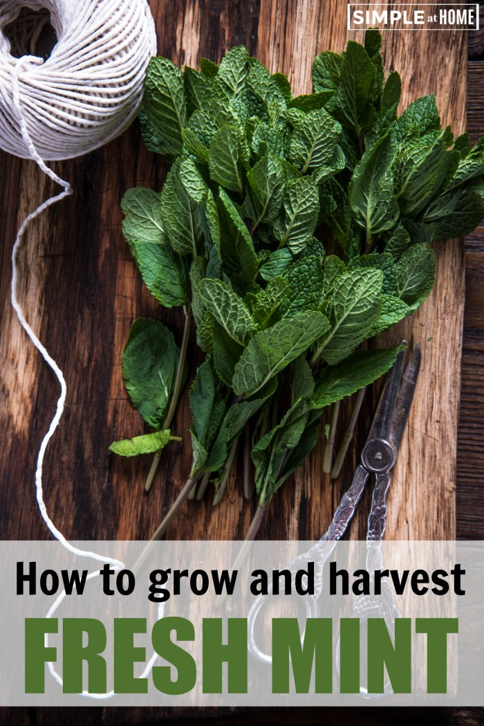 How to grow and harvest mint