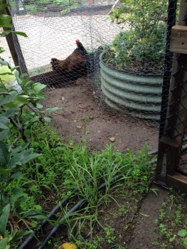 Chicken fence allows seeds to grow where they can't reach