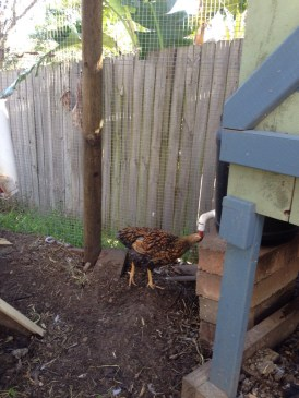 Here Cricket demonstrates how the chickens drink their water