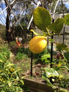 Our first lemon
