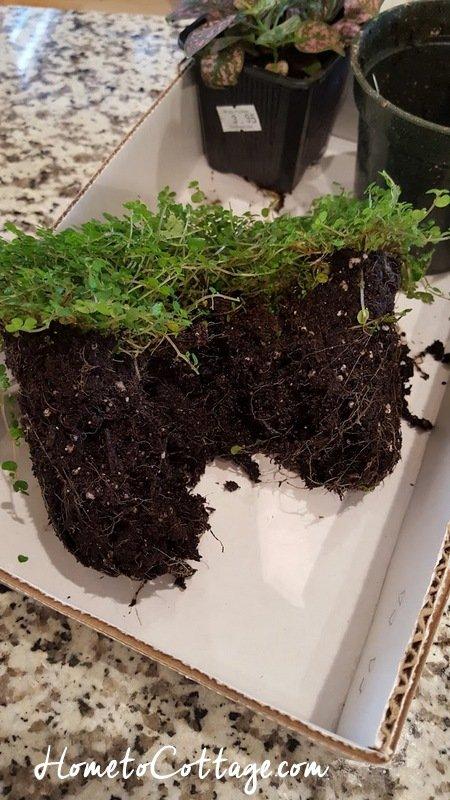 HometoCottage.com low growing plant gets split for terrarium