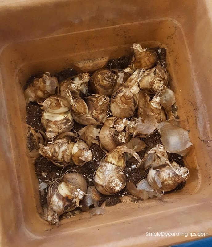 Tips on Forcing Bulbs Indoors SimpleDecoratingTips.com