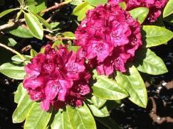 hibiscus flowwer