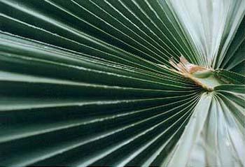 fan_leaf