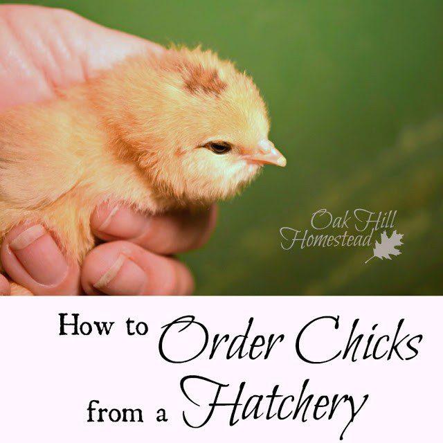 Homestead Blog Hop Feature - chicks-hatchery