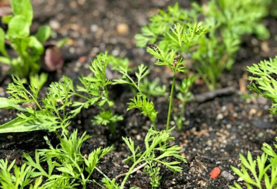 Homestead Blog Hop Feature - How-To-Thin-Carrots-With-No-Waste