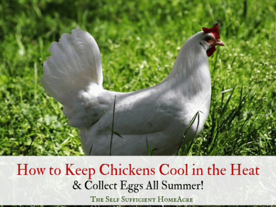 Homestead Blog Hop Feature - How-to-Keep-Chickens-Cool-and-Collect-Eggs-All-Summer